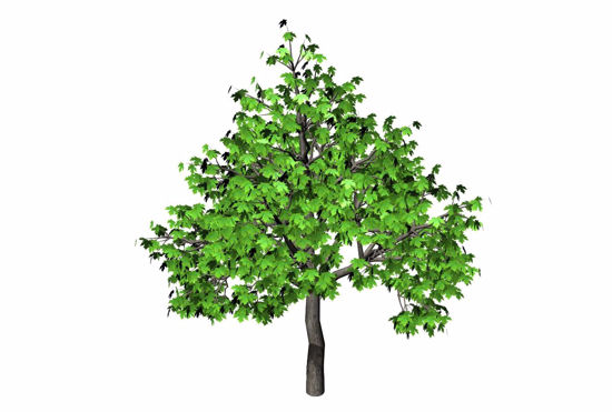 Picture of Large Maple Tree Model FBX Format
