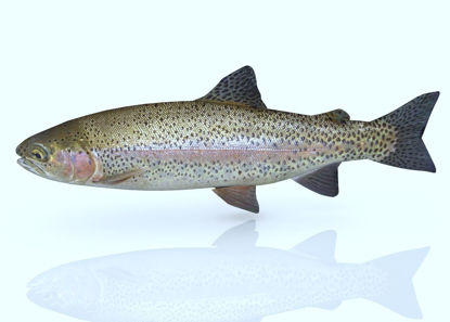 Picture of Rainbow Trout Model FBX Format