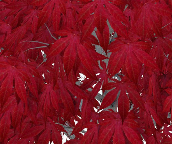 Picture of Red Japanese Maple Tree Model Poser Format