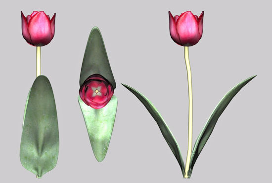 Picture of Tulip Plant Model FBX Format