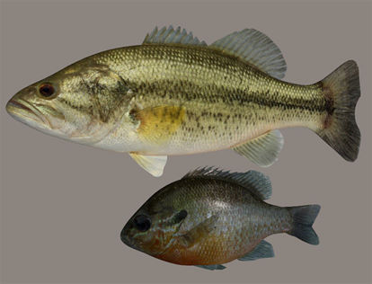 Picture of Largemouth Bass and Bream Fish Models with Morphs