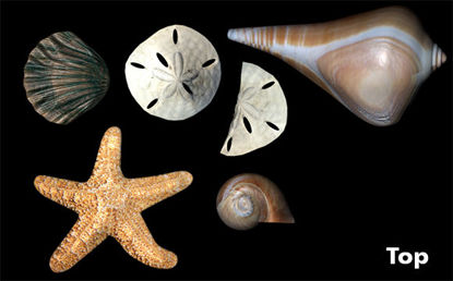 Picture of Sea Shells Model Set
