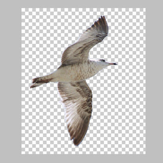 Picture of Flying Seagull on Transparent Background