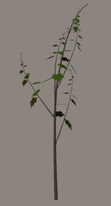 Picture of Young Maple Tree Plant Model