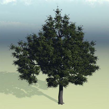 Picture of Large Water Oak Tree Model