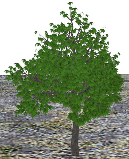 Picture of Large Maple Tree Model - Poser and DAZ Studio Format