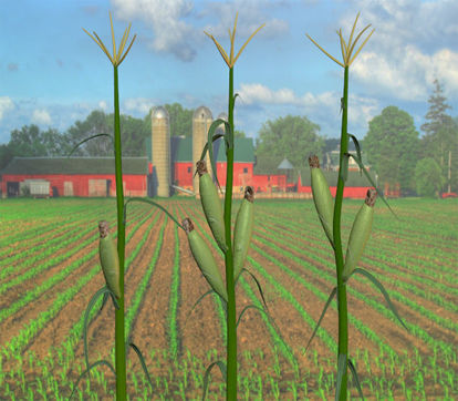 Picture of Corn Plant Models