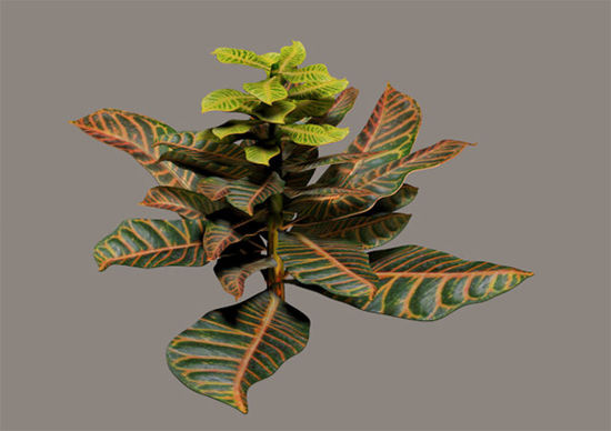 Picture of Multicolor Ficus Plant Model
