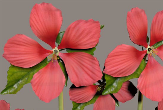 Picture of Red Star Hibiscus Plant Model